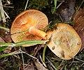 Lactarius deterrimus ? (25869870788).jpg