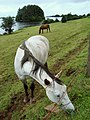 Lake Assaroe, Sam's Island and Horses - geograph.org.uk - 943727.jpg