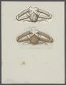 Lambrus longimanus - - Print - Iconographia Zoologica - Special Collections University of Amsterdam - UBAINV0274 095 04 0012.tif