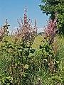 Lamiaceae - Salvia sclarea. Agata Fossili127.JPG