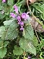 Lamium purpureum 104456262.jpg