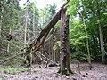 Landschaftsschutzgebiet Horstmanns Holz Melle -Umgestürzter Baum- Datei 3.jpg