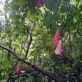 Lapageria rosea - flores rosadas.JPG