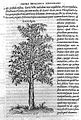 Larch; Laricis figura, 1553 Wellcome L0010943.jpg