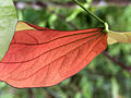 Large Red Leaf.jpg