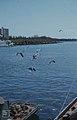 Laughing gulls at Nassau, New Providence (38154648204).jpg