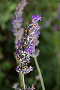 Lavandula Lavender single.JPG