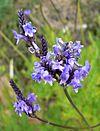 Lavandula canariensis 3