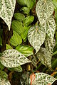 Leaves of Piper ornatum in Fata Morgana in winter 2012.JPG