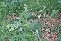 Leeuwenhorst - Gewone smeerwortel (Symphytum officinale) v3.jpg