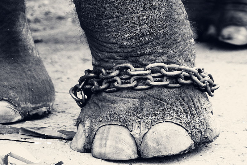 File:Leg of a chained elephant.jpg