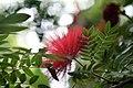 Lehua-haole (Calliandra inaequilatera) (2665337271).jpg