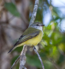 Lemon Bellied Flycatcher - Fogg Dam - Northern Territory - 9 June 2014.1.jpg