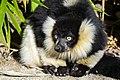 Lemur (25727780047).jpg