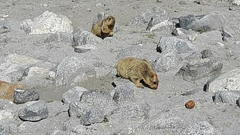 Lemur in Leh ladakh 7.jpg