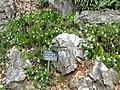 Leontopodium andersonii - Kunming Botanical Garden - DSC02999.JPG