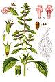 Leonurus marrubiastrum Sturm42.jpg