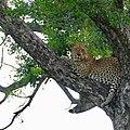 Leopard (Panthera pardus) male resting in a tree ..... (50146959256).jpg