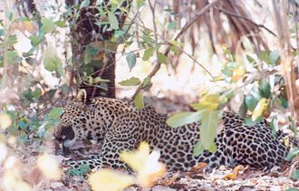 African leopard - Leopard on the border between Guinea and Senegal, in West Africa