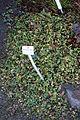 Leptinella dioica - Botanischer Garten, Dresden, Germany - DSC08398.JPG