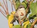 Lesser Whitethroat by Dr. Raju Kasambe DSCN3622 (10).jpg