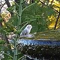 Leucistic Allen's Hummingbird (31888135267).jpg