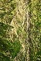 Lichen in tree, Björnlandet.jpg