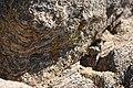 Lichen on a rock (25129129544).jpg