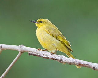 Yellow honeyeater species of bird