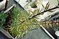 Lilium leucanthum (05).jpg
