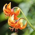 Lilium medeoloides (flower).jpg