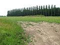 Line of poplars growing on field's edge - geograph.org.uk - 1384192.jpg