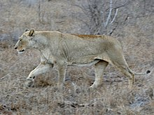 Lioness (Panthera leo) in the lions enclosure ... (32499665525).jpg