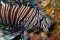 Lionfish face (5834733677).jpg