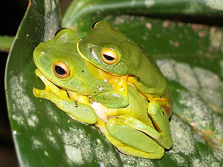 Male orange-thighed frog (Litoria xanthomera) grasping the female during amplexus Litoria xanthomera amplexus.jpg