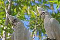 Little Corellas - Durack Lakes - Palmerston - Northern Territory - Australia.jpg