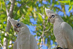 Little corella - Little corellas - Durack Lakes - Palmerston - Northern Territory - Australia