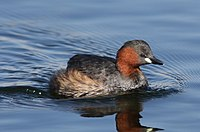 Little Grebe (or Dabchick), Tachbaptus ruficollis, at Marievale, Nature Reserve, Gauteng, South Africa (29349830591).jpg