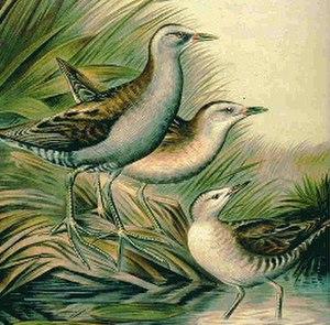 Porzana - Differing plumages of male (left), female (center) and immature little crakes (P. parva)