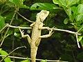 Lizard from Madayipara DSCN2652.jpg