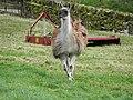 Llamas (33649271001).jpg