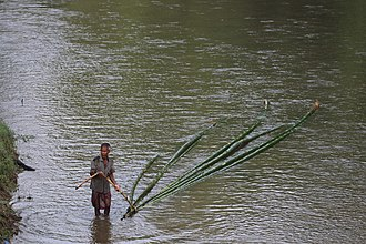 Bamboo transported by river Local farmer nearby the park.jpg
