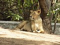 Lonely indian lion.jpg