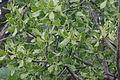 Loranthus europaeus (Riemenmistel) IMG 2335.jpg