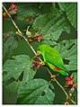 Loriculus vernalis -Ganeshgudi, Karnataka, India -male-8 (1).jpg