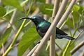 Loten's sunbird.jpg