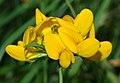 Lotus pedunculatus - blossom (aka).jpg