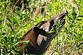 Lowland Tapir (Tapirus terrestris) browsing leaves ... - Flickr - berniedup.jpg