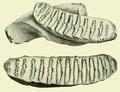 Loxodonta atlantica - Osborn 1942.png