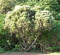 Loxostylis alata, habitus, Pretoria NBT.jpg